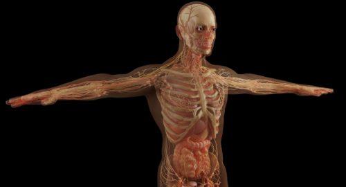 anatomy-6081933_1920